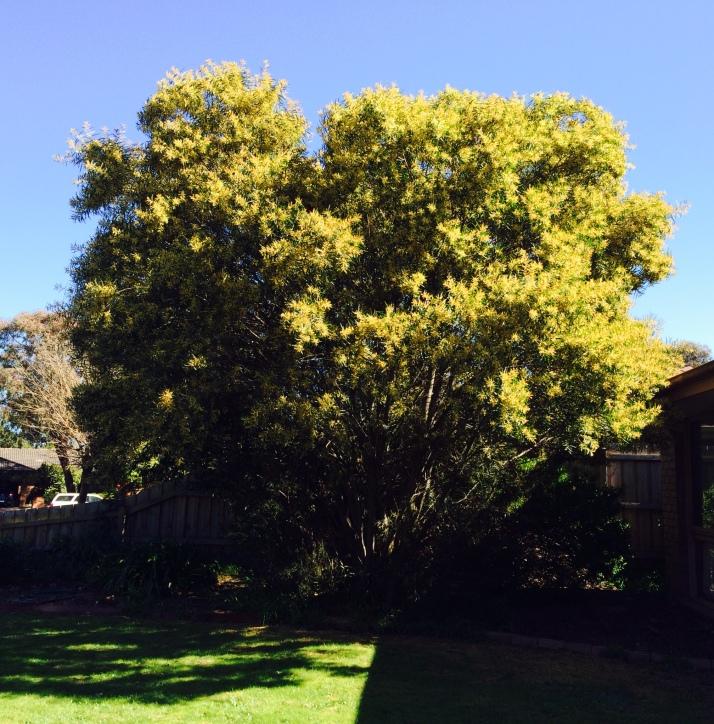 Wattle tree 1